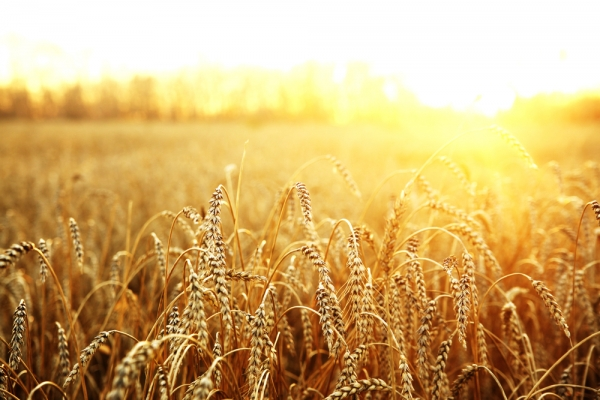 GMO wheat has been found growing in Oregon. Monsanto says it's not their fault.